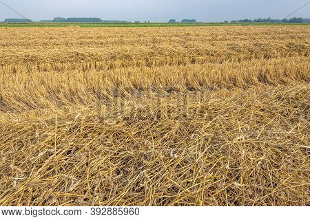 Straw And Stubble After Mechanical Harvesting And Threshing Of Wheat In A Dutch Field. The Photo Was