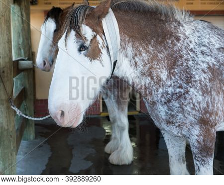 Beautiful Brown And White Clydesdale Horses In A Stable After Being Washed Down