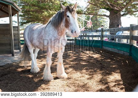 One Of The Beautiful Clydesdale Horses That Pulls The Horse Drawn Tram In Victor Harbor, South Austr