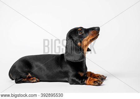 Baby Dog Listens Carefully To Handler During Training. Obedient Dachshund Puppy Executes The Lie Dow