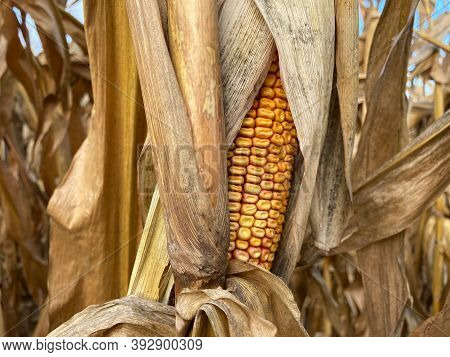 Detail Of A Fully Ripe Corn On The Cob In A Leaf Wrap On A Corn Plant In A Corn Field. In The Backgr