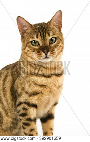 Brown Spotted Tabby Bengal Domestic Cat Brown Spotted Tabby Bengal Domestic Cat