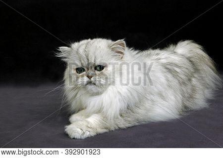 Silver Chinchilla Persian Cat, Adult Scared Silver Chinchilla Persian Cat, Adult Scared