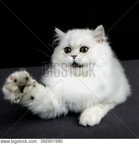 Chinchilla Persian Cat, Adult With Green Eyes Holding Up It's Paw