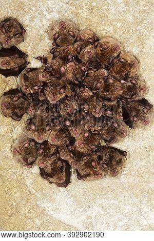 Greater Horseshoe Bat Rhinolophus Ferrumequinum, Colony Hibernating In A Cave, Normandy In France