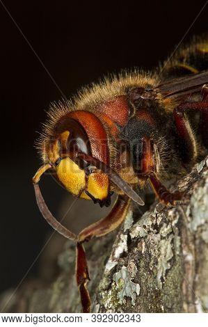 Hornet, Vespa Crabo, Adult, Normandy Hornet, Vespa Crabo, Adult, Normandy