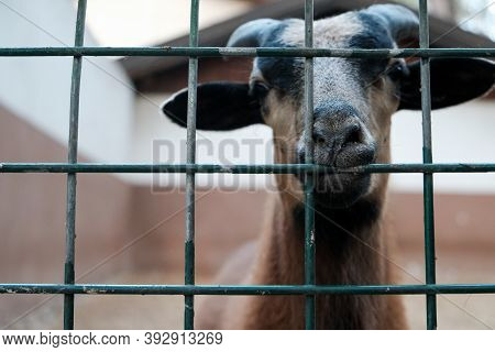 Portrait Of Brown Goat With Horns Looking Out From A Cage. Domestic Animal In Captivity. Unhappy Hun