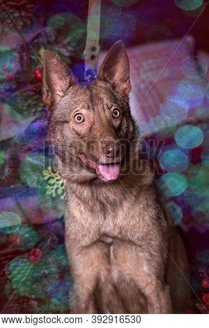 Brown Dog, Half-breed Husky