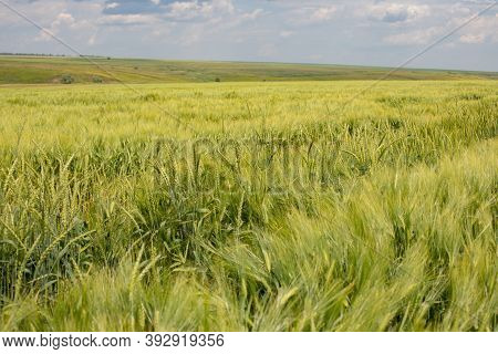 Agricultural Field, Abundance Of Wheat, Wheat Ears Swaying In The Wind, Rural Landscape Background B