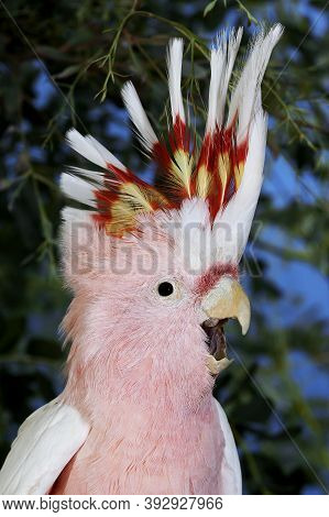 Pink Cockatoo Or Major Mitchell's Cockatoo Cacatua Leadbeateri, Adult, Close-up Of Head