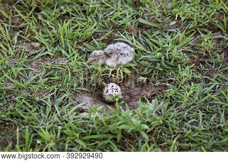 Black Skimmer Rynchops Niger, Chick With Egg In Nest, Los Lianos In Venezuela