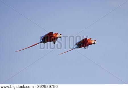 Scarlet Macaw Ara Macao, Pair In Flight, Los Lianos In Venezuela