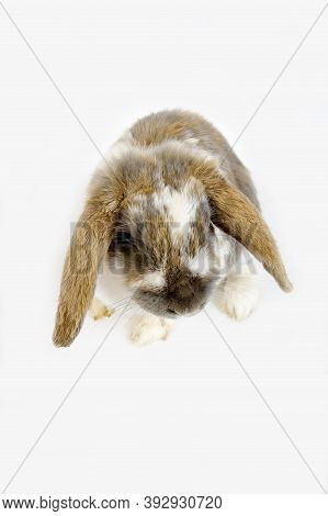 Lop-eared Rabbit Against White Background Lop-eared Rabbit Against White Background