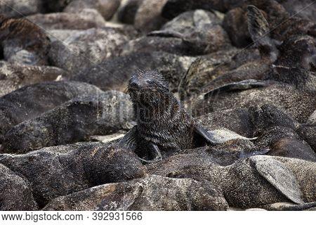 South African Fur Seal Arctocephalus Pusillus, Pup Creche, Cape Cross In Namibia