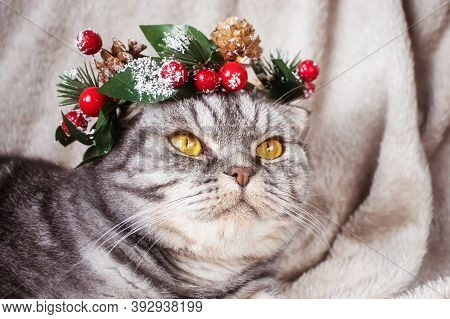 A Funny Gray Scottish Fold Cat With Yellow Eyes In A Christmas Wreath On Its Head Sits On A Blanket.
