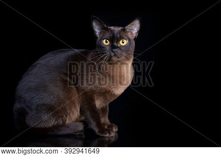 Burma cat , Young cat on black background. Black friday