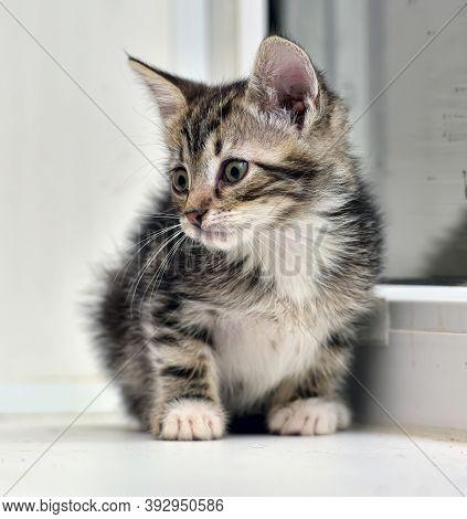 Little Striped With White Kitten