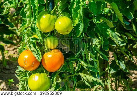 Closeup Of Homegrown Tomatoes In A Dutch Organic Home Garden, Agriculture Background