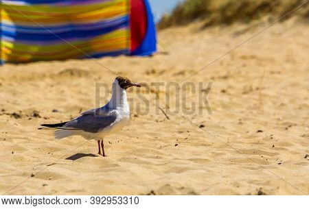 Closeup Of A Black Headed Seagull With Summer Plumage At The Beach, Common European Water Bird Speci
