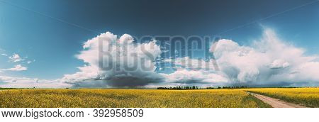 Belarus. Rural Landscape With Blossom Of Canola Colza Yellow Flowers. Rapeseed, Oilseed Field Meadow
