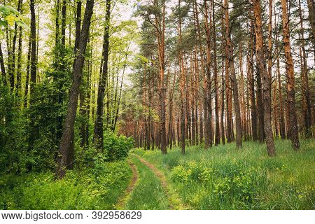 Fairy Forest Lane Road Through Summer Green Mixed Deciduous And Coniferous Forest. European Nature.