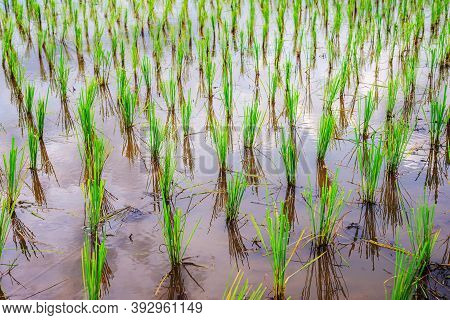 Rice Seedlings Are Beautifully Lined Up In The Water Waiting To Grow.