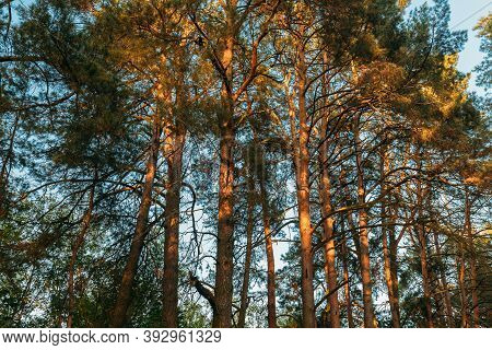 Canopy Of Tall Pine Trees. Upper Branches Of Woods In Coniferous Forest. Summer Pinewood, Bottom Vie