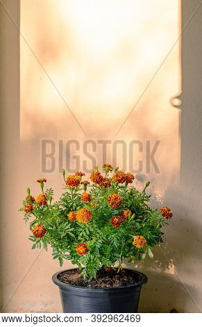 Marigold Flower Nature Blurred On Concrete Texture Background, Flower Abstract Background