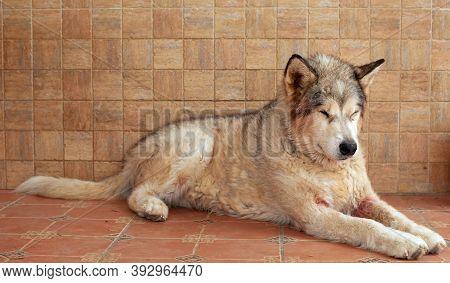 An Alaskan Malamute Dog Lying Down