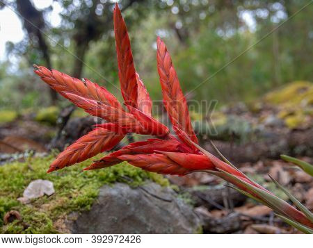 Close-up Photography Of A Tillandsia Flower. Captured At The Hillside Of The Iguaque Mountain In The