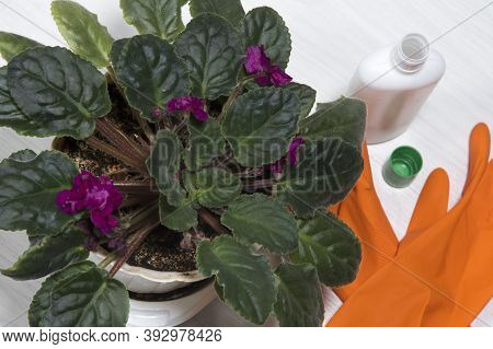 Fertilizing Home Viola Plants. Houseplant Care. Housework And Plants Care Concept. Home Gardening