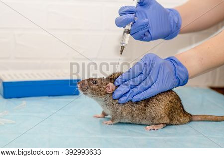 Gray Rat At Veterinarian Doctor Appointment With Hands In Blue Gloves. Examination Of Rat, Doctor In