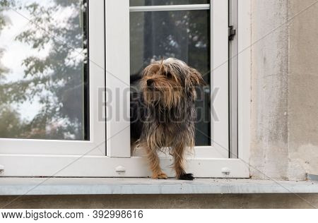 A Small Shaggy Dog Has Stepped Out Onto The Outside Window Sill And Is Watching The World Go By.