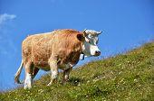 Swiss cow in an Alpine meadow poster