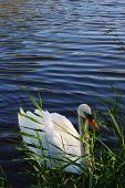 Lonely white swan floating among water vegetation poster