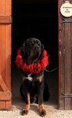 Tibetan Mastiff in a red velvet collar, standing in the doorway poster