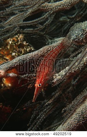 Mozambique Indian Ocean longnose hawkfish (Oxycirrhites typus) on black coral (cirrhipathes sp.) close-up