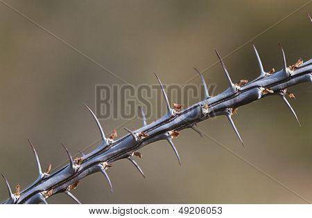 Thorny branch of Ocotillo (Fouquieria splendens) close-up