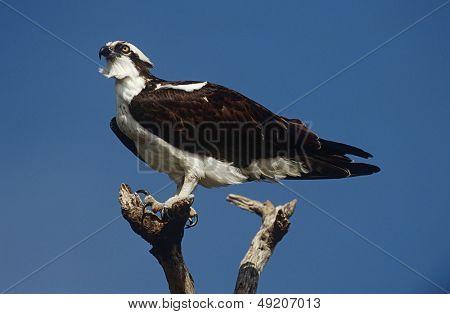 Osprey (Pandion haliaetus) perching on branch