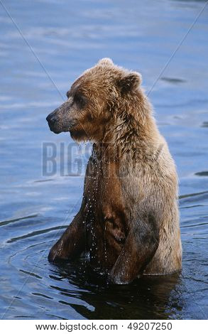 USA Alaska Katmai National Park Brown Bear in water