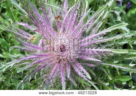 Wavyleaf Thistle From Above