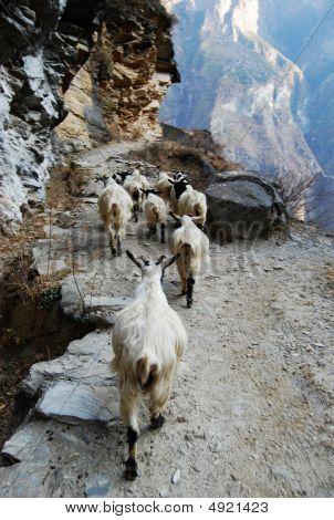 Sheep Trails