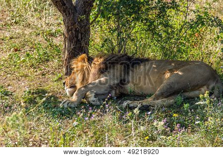 Male lion have daily sleep