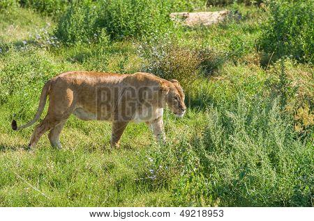 Female liger (lion and tiger hybrid)