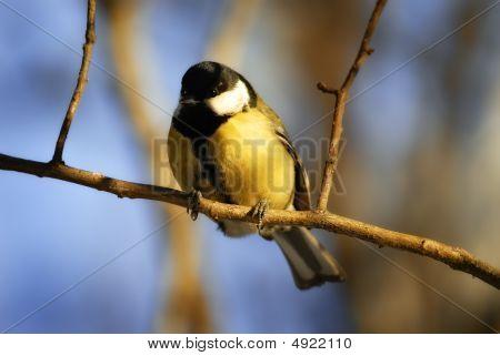 Tomtit On Tree
