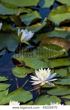Water Lily Among Lily Pads.