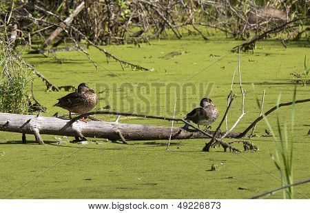 Two Wood Ducks On Log.