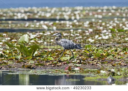 Heron Walks On Wetland Mud.