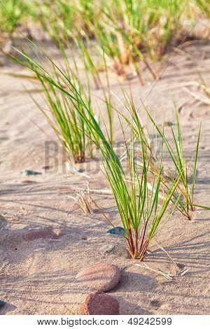 Wild maram grass growing on a Prince Edward Island beach.