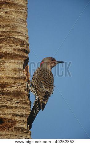 Gila Woodpecker (Melanerpes uropygialis) on tree trunk